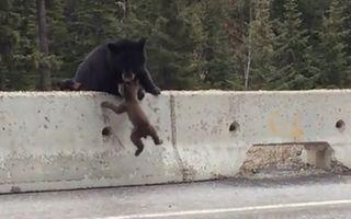 VIDEO: Un pui de urs, salvat de mama lui
