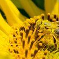 Secretul tenului vedetelor: veninul de albină