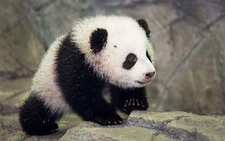 VIDEO: Cum reacţionează un pui de panda când vede prima dată zăpadă