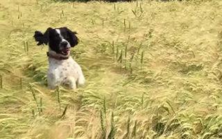 Imagini amuzante: Cum îşi găseşte stăpânul un căţel pierdut într-un lan - VIDEO
