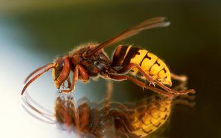 Veninul unor viespi, o posibilă armă eficientă contra cancerului