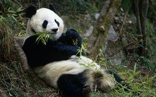 VIDEO: Ce poate să facă un urs panda când are chef de distracţie
