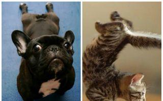 Oricât te-ai strădui, animalele te vor bate la yoga! 30 de fotografii de tot râsul