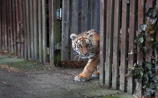 Locatarul tărcat: Un pui de tigru respins de mama lui creşte în dormitorul unui cuplu