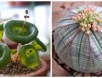 10 cele mai ciudate plante de apartament. Par de pe altă planetă!