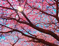 Au înnebunit cireşii! Spectacolul pomilor roz din Japonia - FOTO