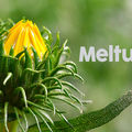 """10 efecte terapeutice ale unei plante vechi, dar """"modernă""""– Grindelia"""