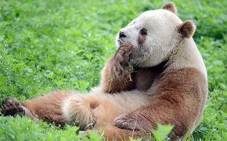 Rasism în lumea animalelor: Singurul Panda brun din lume, abandonat de mama lui - FOTO