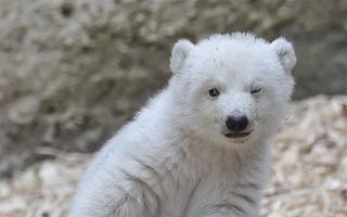 Primii paşi ai unui ursuleţ polar: E irezistibil! - VIDEO