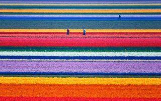 Spectacolul culorilor. 30 de imagini impresionante cu plantații de lalele