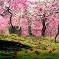 """""""Explozia"""" roz din Japonia, ţara cu cea mai frumoasă primăvară - FOTO"""