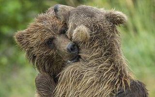 """""""Frate, tu ești?"""": Momentul emoționant în care doi pui de urs se revăd după ce au fost abandonați de mama lor"""