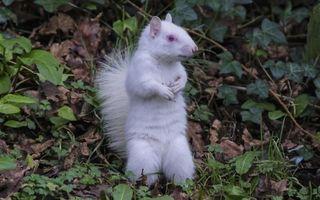 Veveriţa albă, o apariţie ciudată - FOTO