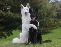 Nunta câinilor: Cum arată mirii care latră