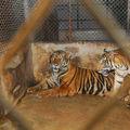 A fost adoptată legea care interzice folosirea animalelor sălbatice la circ