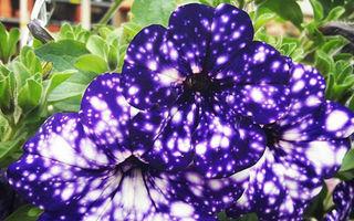 Floarea spectaculoasă care arată precum o galaxie. E uimitoare!