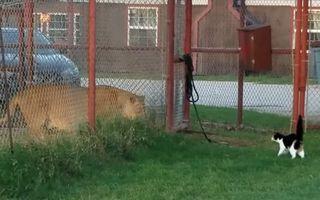 Video: Mărimea nu contează! Pisica Baggy are curaj să provoace un leu