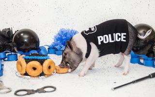 Hercules, porcul cu vestă de poliţist