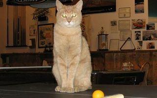 A murit pisica Stubbs, primar al unui orăşel din Alaska de 20 de ani