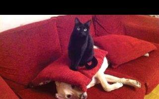 Când pisicile terorizează câinii. 25 de imagini super amuzante