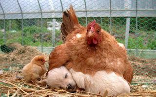 20 de fotografii care demonstrează că găinile sunt cele mai bune mame din lumea animalelor