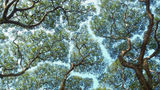 Un fenomen bizar: Misterul copacilor care nu suportă să se atingă