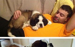 Cele mai amuzante 20 de fotografii cu câini imenși care se cred pui