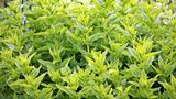 Planta care ține departe șoarecii, păianjenii și insectele de casa ta