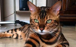 Tigrișorul de casă: Thor, pisica bengaleză care face senzație pe Instagram