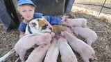Animalele au suflet mare: Căţeaua care a adoptat 8 purceluşi
