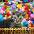 Pisicuţa cu freză punk, vedetă pe internet: E irezistibilă!