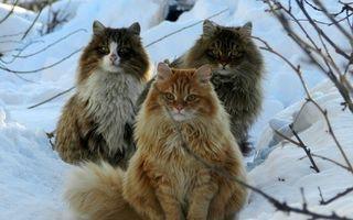 Mâţele vikingilor: Pisicile norvegiene de pădure nu tremură de frig