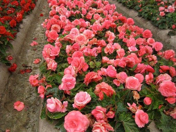 10 Flori De Grădină Pentru începători Sunt Frumoase și