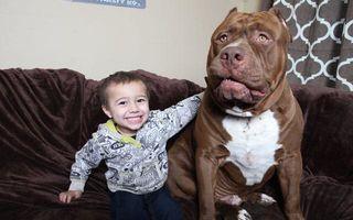 Hulk, pitbull-ul uriaș de 80 de kilograme și cel mai bun prieten al său, un băiețel de 3 ani