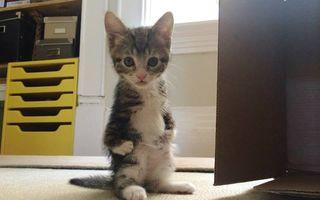 Pisicuţa care se comportă ca un cangur: De ce stă în două lăbuţe