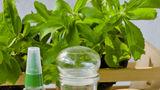 Studiu: Extractul de ștevie dulce poate vindeca boala Lyme