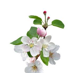 Floare de măr