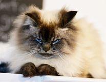 Merlin, motanul supărat care urăşte pe toată lumea: Şoarecii fac infarct