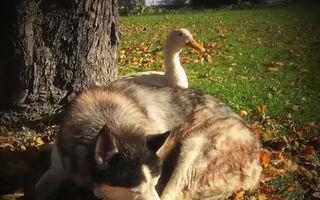 Camarazi nedespărţiţi: Ciudata prietenie dintre un câine şi o raţă