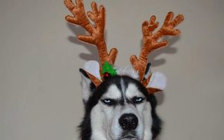 """Un Husky care """"urăşte"""" Crăciunul: Mutra lui spune tot!"""