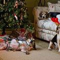 50 de câini şi pisici care au distrus Crăciunul. Imagini amuzante!