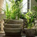 Pot purifica aerul plantele din casă?