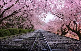 Invazie roz în Japonia: Au înflorit cireşii!