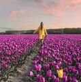 Ce spectacol! Transformarea uimitoare prin care trece Olanda când înfloresc 7 milioane de lalele