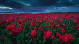 Cea mai frumoasă grădină din lume: Imagini de vis din paradisul lalelelor