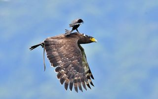 Taximetristul cu aripi: O pasăre călătorește pe spatele unui vultur