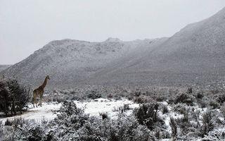 A nins în Africa de Sud: Leii, elefanții și girafele descoperă zăpada