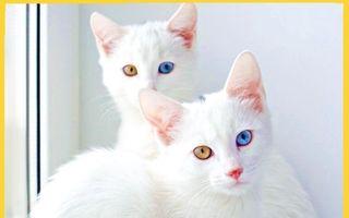 19 pisici de rasă care costă o avere: Sunt scumpe-foc!