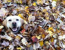 Și câinii se bucură de toamnă: Ce face un labrador când vede o grămadă de frunze - VIDEO