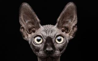 Pisicile din rasa Sphynx chiar sunt speciale: 30 de fotografii amuzante